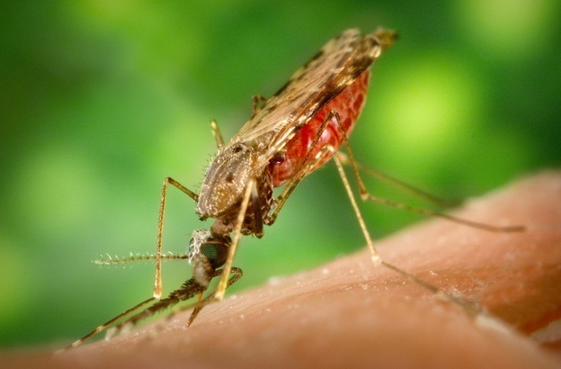 A Remnant From Algae In Malaria Parasite May Prove Its Weakness